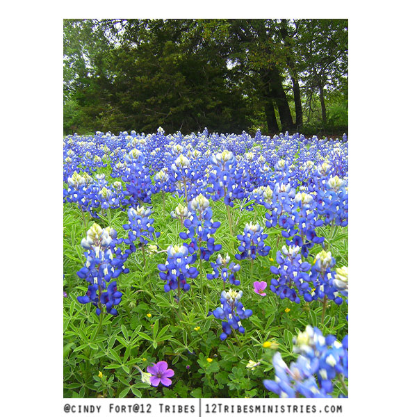 Bluebonnets-by-the-cedar-tree