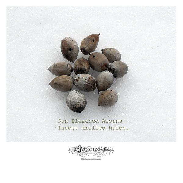Sunbleached-acorns